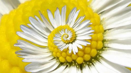 Recursive Daisy (by gadl)